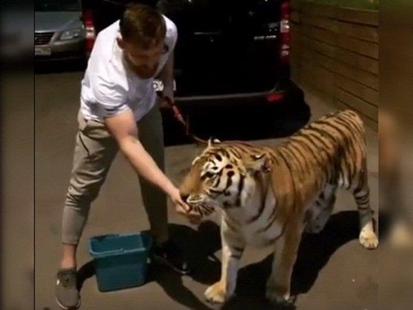 Донской боксер Дмитрий Кудряшов поужинал в компании тигрицы: видео